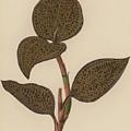 Anoectochilus Setaceus, Aurea by English School