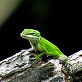 Anole 15 by J M Farris Photography