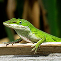 Anole 16 by J M Farris Photography