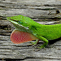 Anole 17 by J M Farris Photography