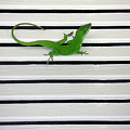 Anole Shuttered Out by Lucyna A M Green
