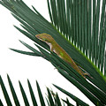 Anole With Palm - Coy by Lucyna A M Green