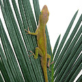 Anole With Palm - Curious by Lucyna A M Green