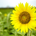 Another Common Sunflower by Chris Coffee