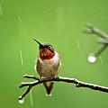 Another Rainy Day Hummingbird by Christina Rollo