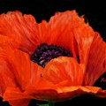 Another Red Poppy by Anke Wheeler