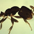 Ant by Calvin Franklin