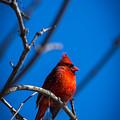 Ante Meridiem Cardinalis Cardinalis by Nathan Larson