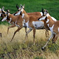 Antelope 1 by Marty Koch