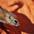 Antelope Ground Squirrel II by Kyle Hanson