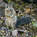 Antelope Squirrel 6632-041818-1cr by Tam Ryan