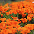Antelope Valley California Poppies by Kyle Hanson
