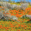 Antelope Valley Poppies by Kyle Hanson