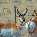 Antelopes by Stephen Whalen