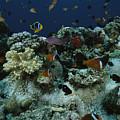 Anthias Fish, Anemonefish And Basslets by Tim Laman