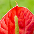 Anthurium Close-up by Ray Laskowitz - Printscapes