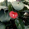 Anthurium Flower  by Ruth  Housley