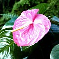Anthurium by Will Borden