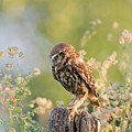 Anticipation - Little Owl staring at its Prey by Roeselien Raimond