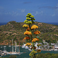 Antigua National Flower  by Gary Wonning