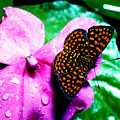 Antillean Crescent Butterfly On Impatiens by Thomas R Fletcher