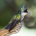 Antillean Crested Hummingbird On Stick by Steven Dingeldein