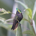 Antillean Crested Hummingbird by Steven Dingeldein