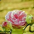 Antique Pink Rose by Debra Banks