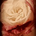 Antique Rose - In Full Bloom by Angie Tirado