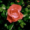 Antique Rose by Sherri Williams