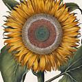 Antique Sunflower Print by Basilius Besler