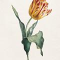 Antique Tulip Print by Valentine Bartholomew