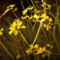 Anza Borrego Desert Sunflower 4 by Chris Brannen