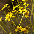 Anza Borrego Desert Sunflowers 1 by Chris Brannen