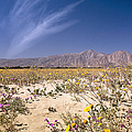 Anza Borrego Wildflowers by Endre Balogh