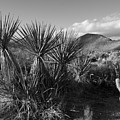 Anza-borrego Yuccas by Peter Tellone