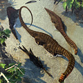 Apatosaurus From Above by Kurt Miller