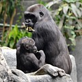 Apes by Laurie Glowacki