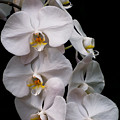 Aphrodite - White Orchid by Zina Stromberg