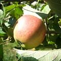 Apple 101 by Ken Day