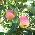 Apple 103 by Ken Day