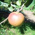 Apple 104 by Ken Day