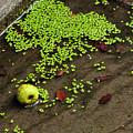 Apple And Algae In Dam Overflow by Merrimon Crawford