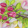 Apple Blossom Buds On A Greeting Card by Dai Wynn