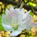 Apple Blossom Close-up by Debra Lynch
