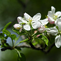 Apple Blossom In Iowa by Rod Schall