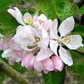 Apple Blossom by Joyce Woodhouse