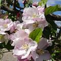 Apple Blossom by Karen Jane Jones