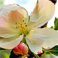 Apple Blossom by Kristin Elmquist