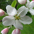 Apple Blossom by Melissa Parks